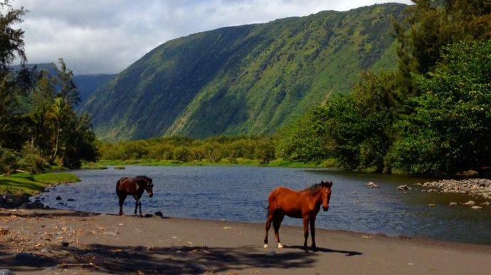wild-horses-at-waipio-valley-on-the-big-island-of-hawaii-e1463597789519